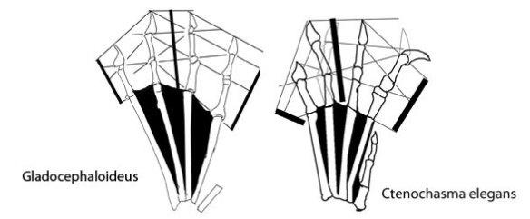The pes of Gladocephaloideus