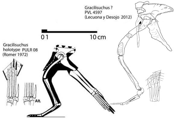 Figure 1. The Gracilisuchus holotype and the new specimen, PVL 4597 compared to scale. The PVL specimen is re-reconstructed below in the addendum image, so do not . There are six specimens of Gracilisuchus. PULR 08 appears to have no pedal 5 phalanges, distinct from the PVL specimen which has distinct metatarsal lengths.