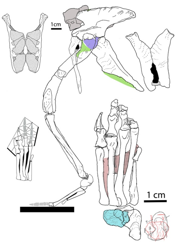 Addendum figure. This is a better rendition of the new hindquarters of the PVL specimen. Apologies for any earlier inaccuracies. Thanks to M. Mortimer for pointing out I had mistaken a right ischium for a left one and tarsal inaccuracies. If there are further problems, please let me know, or contact Romer.