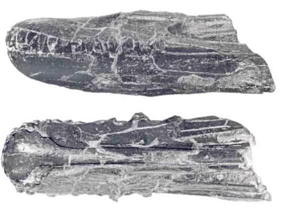 Istiodactylus snout.