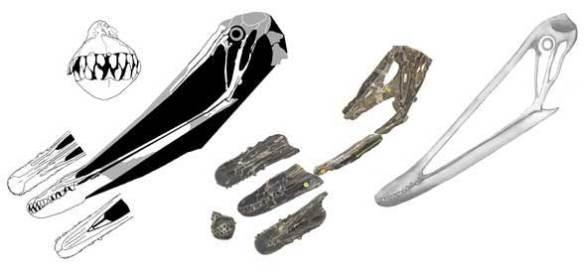 Istiodactylus skulls