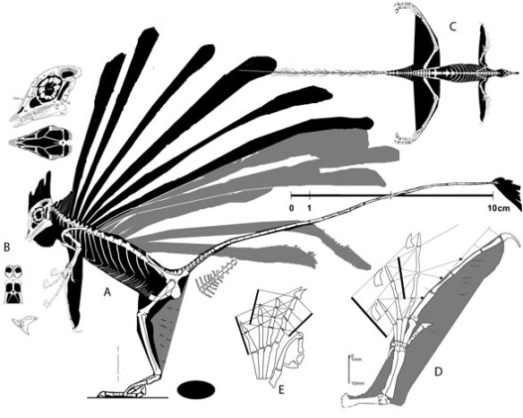 Figure 2. Longisquama in lateral view, dorsal view and closeup of the skull. Like Microraptor, Longisquama glided/flew with similarly-sized wings both fore and aft.