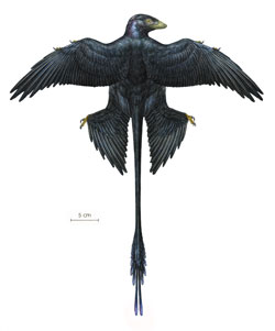 Microraptor restored.