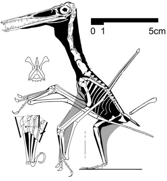 Pedal digit 5 in a basal Pterodactylus, AMNH 1945.