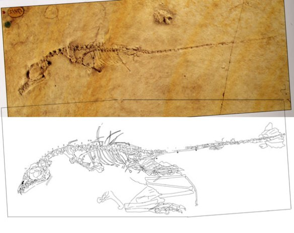BML-37012 (n45 in the Wellnhofer 1975 catalog) is a small and primitive Rhamphorhynchus