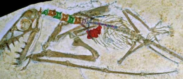 Scaphognathus SMNHS 59395