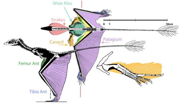 Figure 2. The wing membranes of Sharovipteryx.