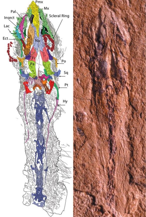 sharovipteryx-skull588
