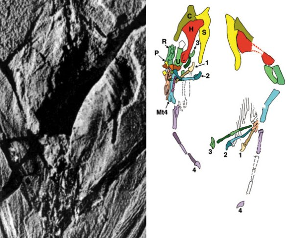 The pectoral girdle and forelimbs of Sharovipteryx.