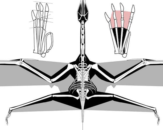 Dorsal view of flying pterosaur.