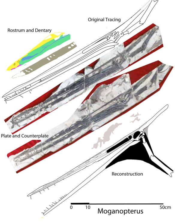 Moganopterus, the largest toothed pterosaur.