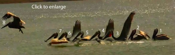 Pelican take-off sequence from water.