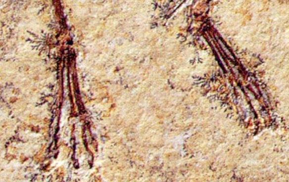 Pterosaur toe webbing on the Vienna specimen of Pterodactylus.
