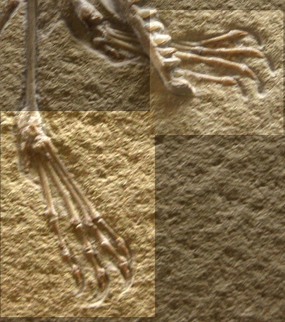 Toe webbing on the Frey and Tischlinger private specimen of Pterodactylus.