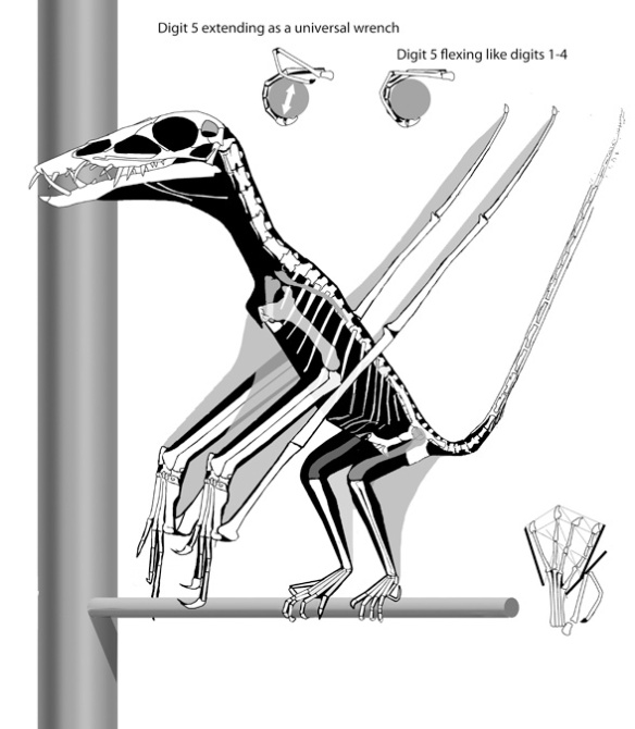 Figure 1. The pterosaur Dorygnathus perching on a branch. Above the pes of Dorygnathus demonstrating the use of pedal digit 5 as a universal wrench (left), extending while the other four toes flexed around a branch of any diameter and (right) flexing with the other four toes. As in birds, perching requires bipedal balancing because the medially directed fingers have nothing to grasp.