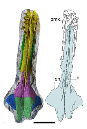 Rostrum of Mesosaurus (dorsal view).
