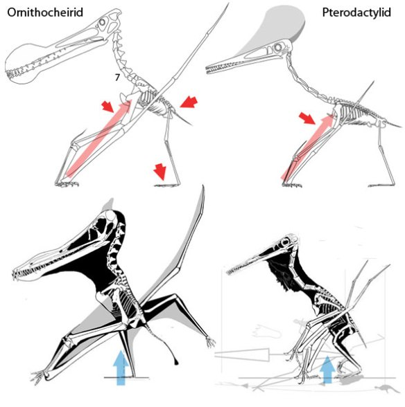 Terrestrial locomotion in pterosaurs, two views.