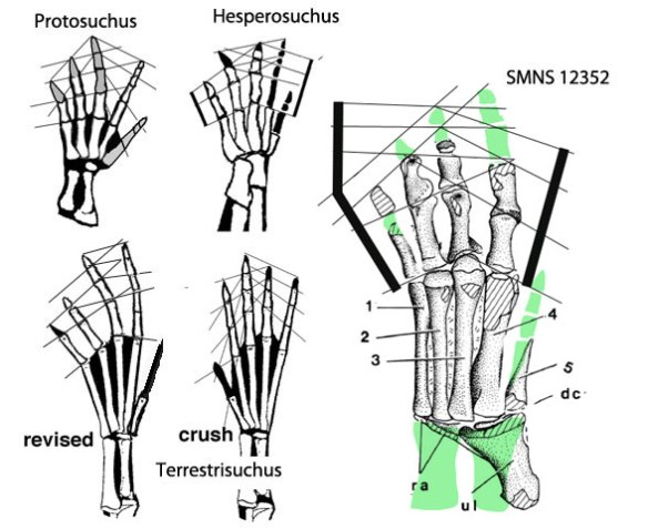 Figure 2. Manus associated with SMNS 12352 compared to other croc manus and wrists.