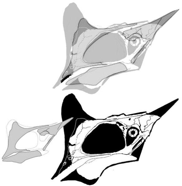 Tapejara (Pterosaur) growth patterns