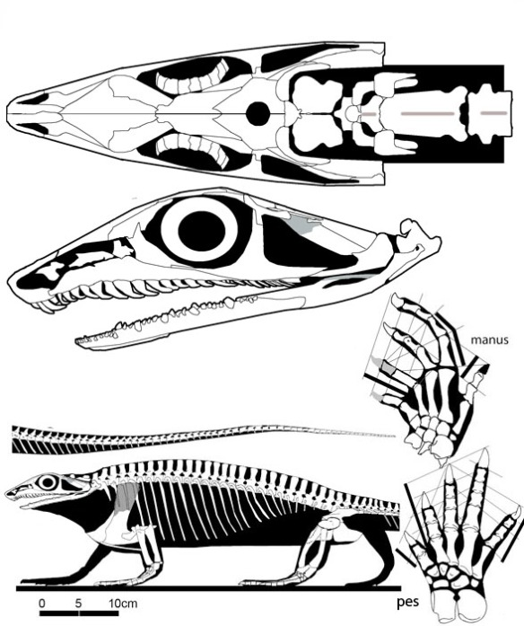 Figure 2. Aerosaurus skull reconstructed in dorsal and lateral views. Plus manus and pes and complete specimen in lateral view. This is one of the basalmost synapsids.