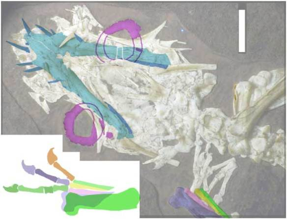 The mandible and scleral rings of Bellubrunnus.