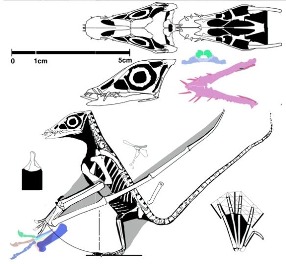Figure 1. A reconstruction of the new pterosaur, Bellubrunnus.