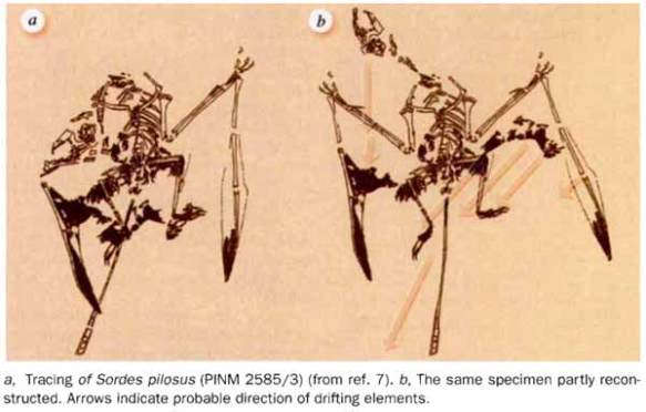 """Figure 1. Sordes interpreted by me in Nature 1995. At that time. remember, no one had ever heard of a uropatagium. And the purported """"fact"""" that this flap of skin spanned the hind limbs without connecting to the tail seemed pretty hard to swallow for a majority of paleontologists. The only images available were small and indistinct. Even so, an attempt was made here to understand the taphonomy of the specimen and how it came to sport such a strange autapomorphy that has not been seen since on any pterosaur fossil. Despite the sincerity of this effort, it includes several mistakes rectified now in ReptileEvolution.com/sordes.htm after publication of the specimen in a larger format with higher resolution."""