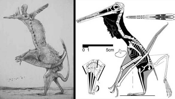 The Koseman/Conway Pterodactylus (left) and the Peters Pterodactylus