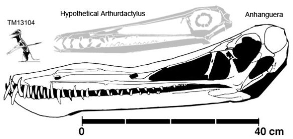 The complete TM13104 and the skull of Anhanguera to scale.