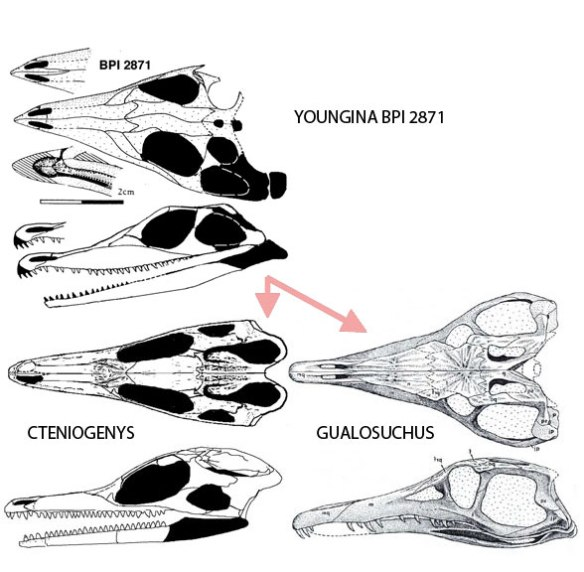 Youngina BPI 2871 and its descendants, according to the large reptile tree, the choristodere Cteniogenys and the chanaresuchid, Gualosuchus.
