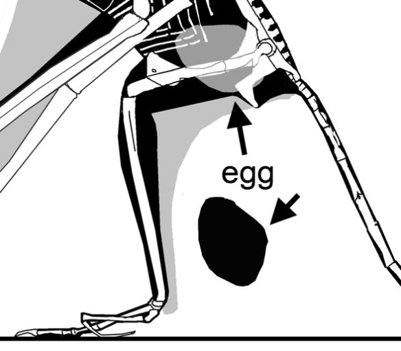Placing the egg back into the pregnant mother pterosaur.