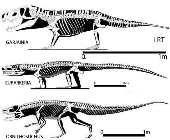 Figure 3. Here Euparkeria nests between Garjainia, a basal erythrosuchid, and Ornithosuchus following the nestings recovered by the large reptile tree. All three share a suite of traits that do not include a long narrow rostrum and a dorsal naris, among other traits.