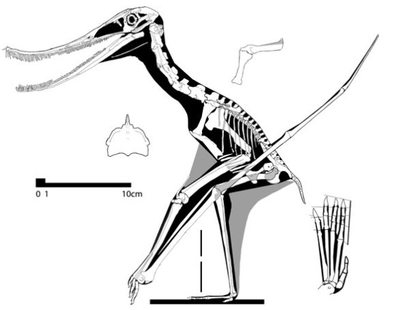 Figure 1. The new Propterodaustro pterosaur reconstructed. While it nests between Ctenochasma and Pterodaustro, certain traits are distinct from both.