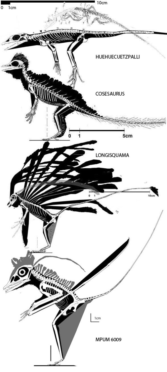 The lineage of pterosaurs recovered from the large reptile tree. Huehuecuetzpalli. Cosesaurus. Longisquama. MPUM 6009.