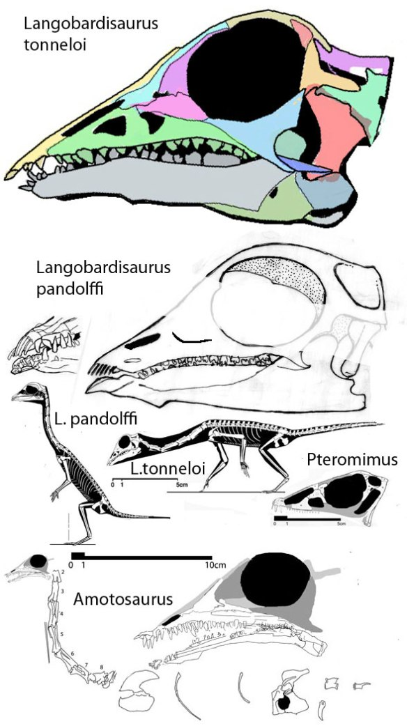 Two skulls of Langobardisaurus together with to scale images of them along with sisters Amotosaurus and Pteromimus.