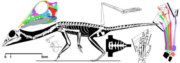 Langobardisaurus tonneloi reconstructed. Note the cosesaur-like pectoral girdle.
