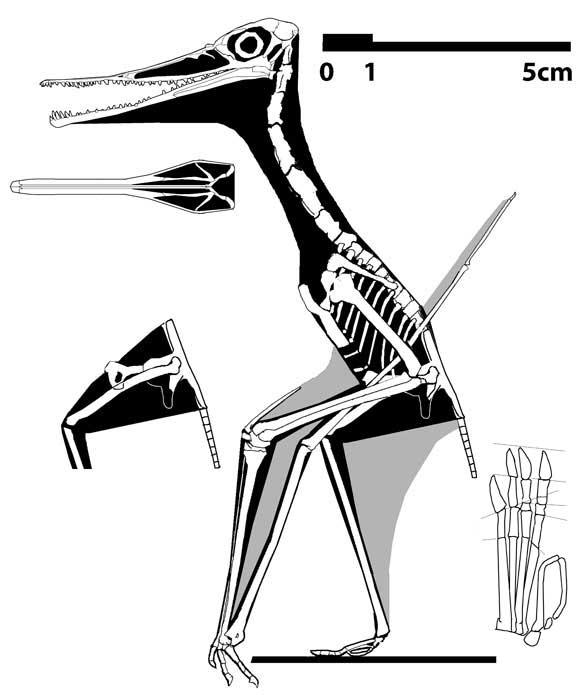 Pterodactylus? elegans? BSPG 1911 I 31 (no. 42 in the Wellnhofer 1970 catalog)