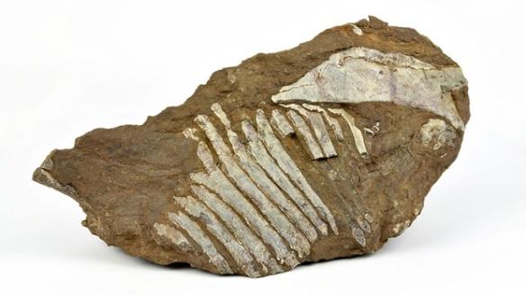 Figure 1. Fossil ribcage of new Nova Scotia fossil.