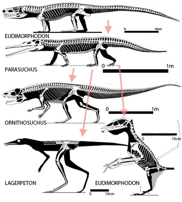 Pterosaur closest kin according to Nesbitt 2011.