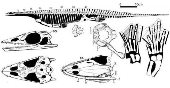 Pachypleurosaurus had more than two sacrals all converging on a tiny ilium.