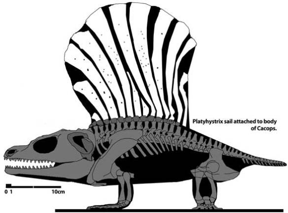 Figure 3. The sail of Platyhistrix mated to the rest of Cacops is a better match for the new Nova Scotia discovery by the dog named Kitty than any pelycosaur.