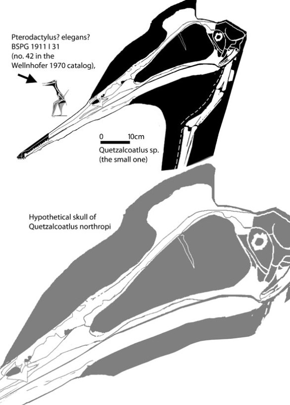 Tiny no 42 is dwarfed by the specimen referred to Quetzalcoatlus, which is dwarfed by the hypothetical skull of Q. northropi, based on wing elements.