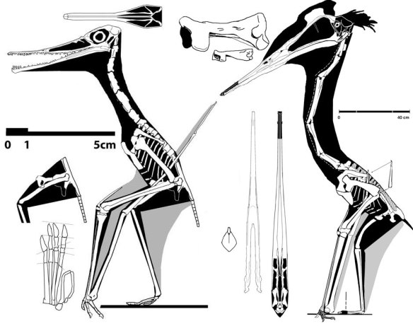 Quetzalcoatlus and its ancestor, no 42, note scale bars.