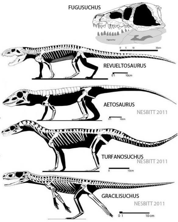 Figure 2. Lower four taxa: Revueltosaurus and closest kin according to Nesbitt (2011): Aetosaurus, Turfanosuchus, Gracilisuchus. Upper two taxa: Revueltosaurus nests with Fugusuchus according to the large reptile tree.