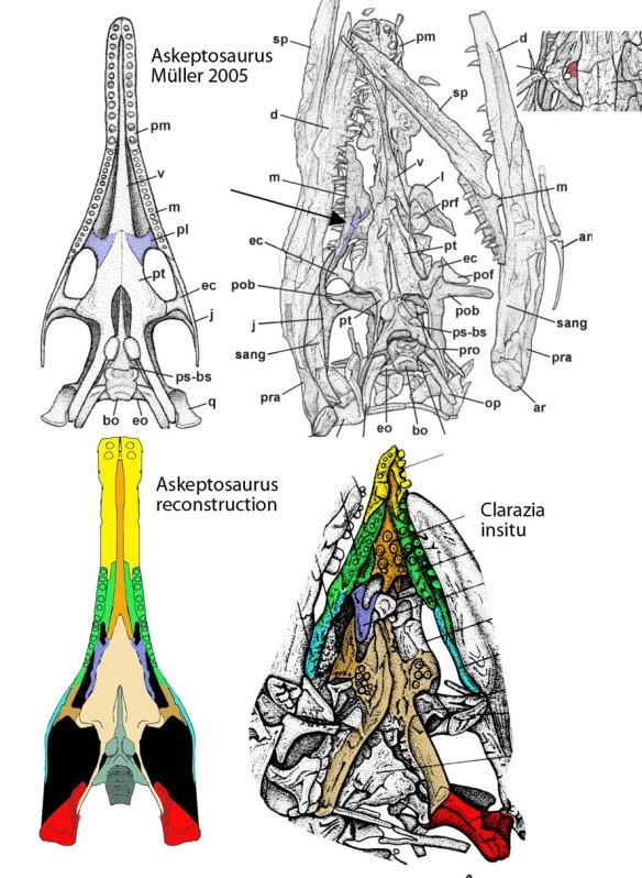 The palatine of Askeptosaurus.