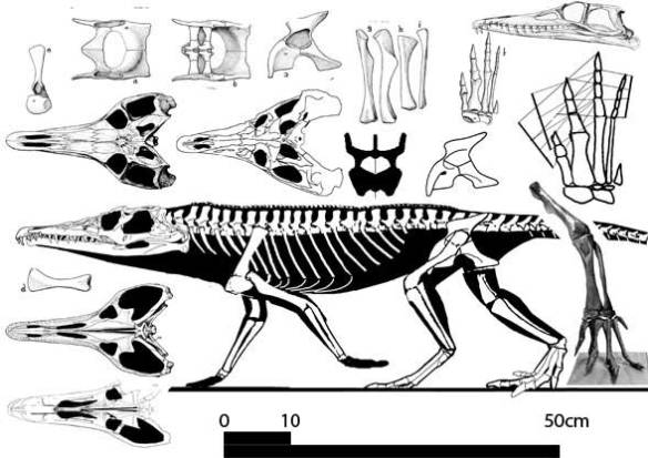 Chanaresuchus a taxon derived from a sister to Diandongosuchus. Note the similar long-legged proportions and long, low, wide skull shape.