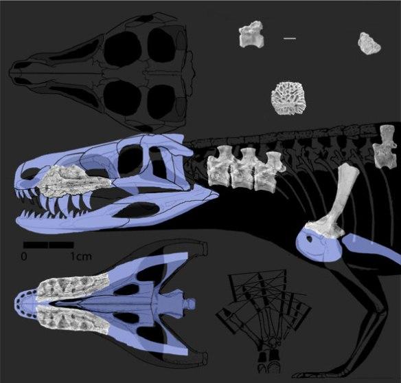 Restoring the skull of Parringtonia