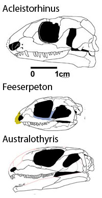 Competing closely related candidates Acleistorhinus, Feeserpeton and Australothyris to scale.