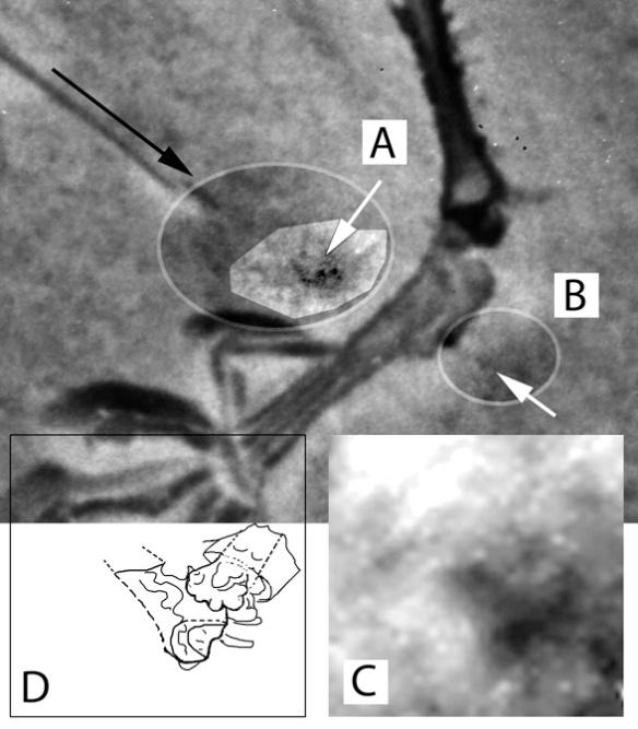 The flathead pterosaur interphalangeal joint 4.3/4.