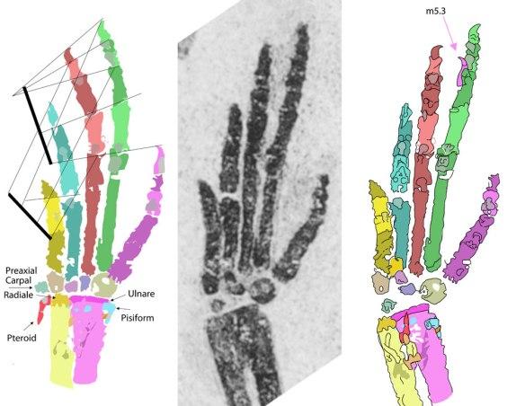 The right manus of Langobardisaurus tonelloi.